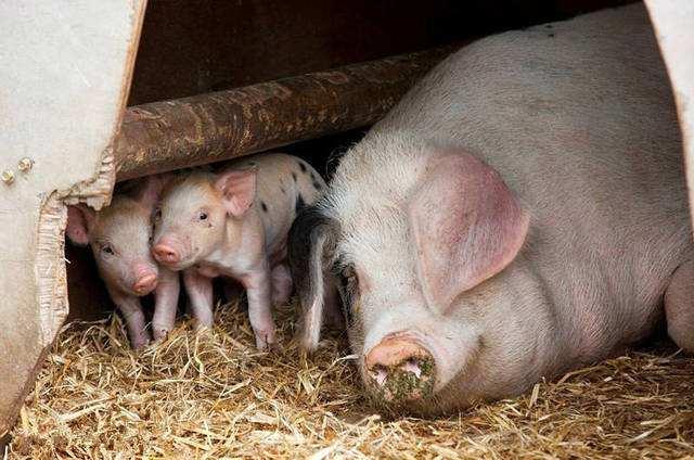泌乳期长短对仔猪生产性能的影响,哺乳期越长仔猪断奶时体重增加越明显