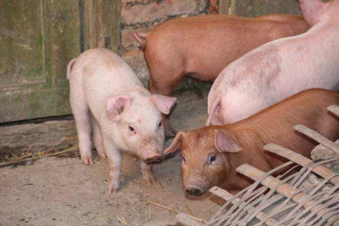 生猪产能下降明显 预计八月全国猪肉价格将高位徘徊