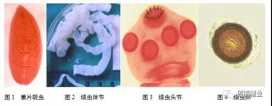 体内寄生虫