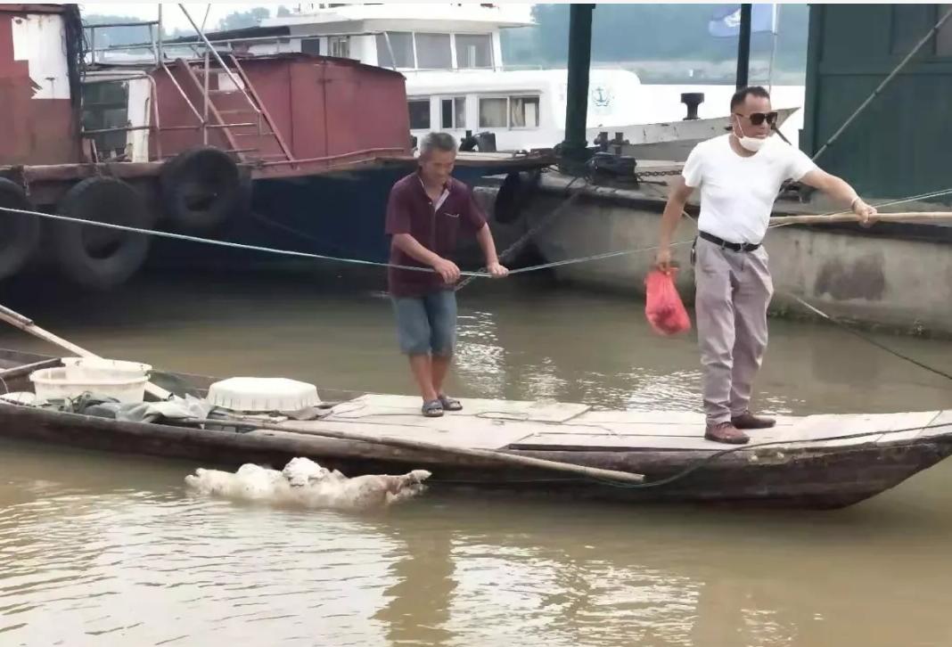 常德安乡松滋河漂浮大量死猪,怎么回事?