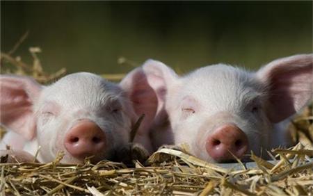 8家中小型猪场复产2万多头!他们是这样做的…