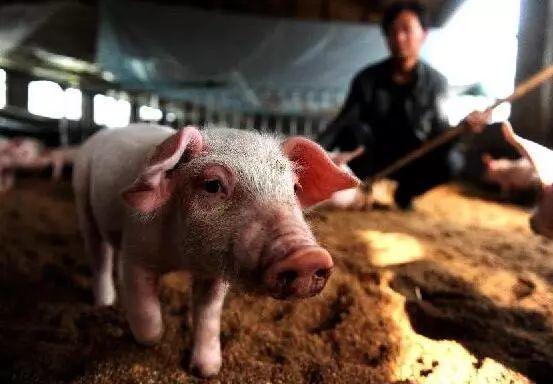 8月9日全国生猪价格表格,广西非瘟疫情继续,猪价涨势不停!