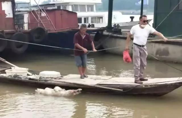 常德安乡县河流里惊现成群死猪,经查系养殖户将病死猪抛弃河里