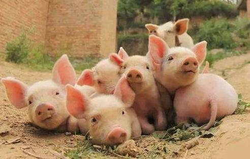 三元母猪复养扩群?这7条提高商品猪种价值措施很关键
