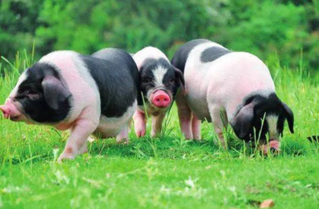 养猪人的呐喊心声:在非瘟夹缝中求生存,我们还能挺多久?