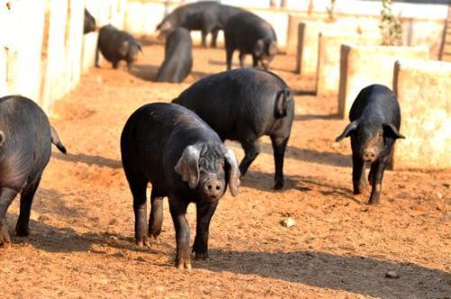 两广地区猪价大幅上涨,南北价差高达3元/斤,北方生猪向南方大量调入