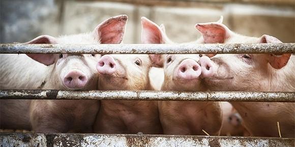 今珠多糖配方公布!曾对420只非瘟病猪做实验,专利公告称治愈率80%以上