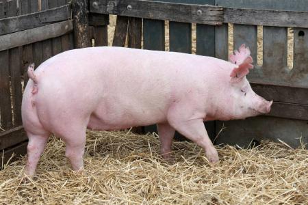 2019年08月12日全国各省生猪价格外三元价格报价