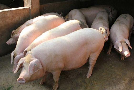 生猪出栏量高速增长,肉类市场供给总体稳定