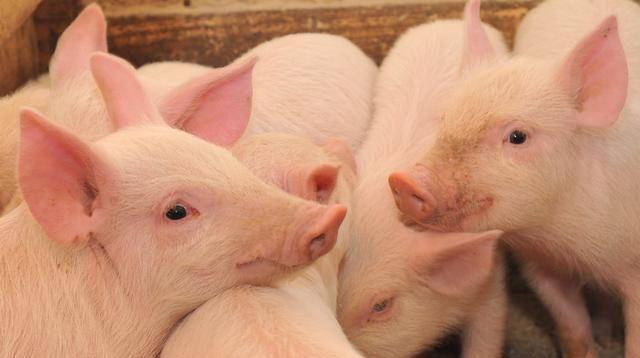 和非洲猪瘟症状相似,猪混感高热病治疗及时治愈率可达80%