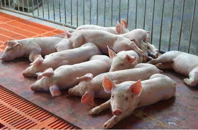 猪副嗜血杆菌:在健康猪的鼻腔中存在,抵抗力下降时开始发病