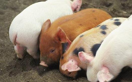 非洲猪瘟周年祭系列(二):猪价高一尺,利润高一丈