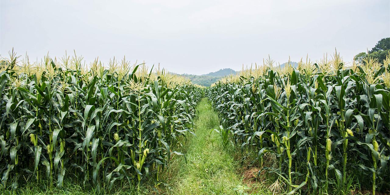养猪利润重上800元关口,玉米价格能否触底回升?