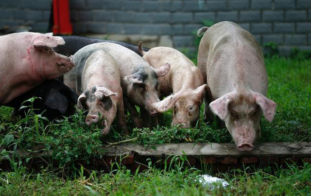最新消息!陆川非洲猪瘟疫区正式解除封锁!