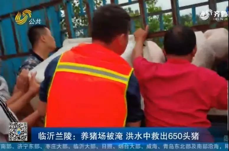 台风侵袭山东,临沂养猪场被淹,消防员洪水中抢救650头二师兄