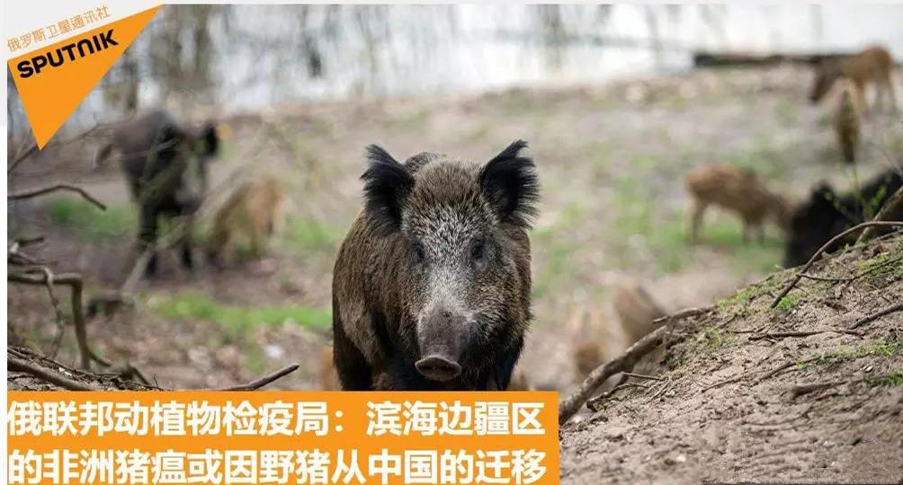 俄联邦动植物检疫局:滨海边疆区的非洲猪瘟或因野猪从中国的迁移