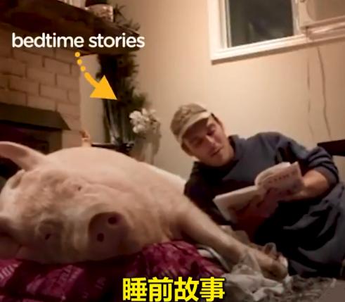 加拿大男子养了只假迷你猪,体重直奔600斤,睡前要听故事
