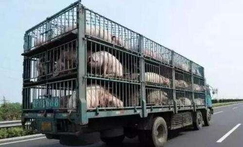 重庆明确规定7省市生猪不得调入,13个地区种猪禁止调入