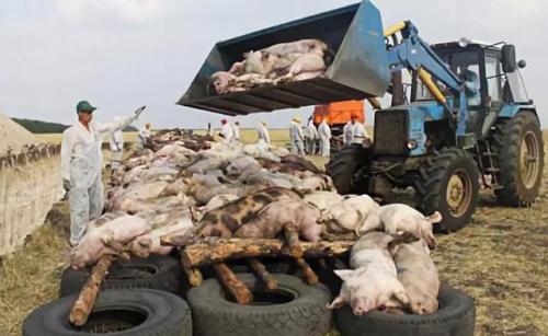 非洲猪瘟在次升级,保加利亚非洲猪瘟肆虐:130,000头猪被宰杀