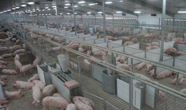 北方生猪产能持续恢复中,鸡东县规模养殖屠宰项目建设快马加鞭