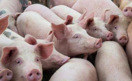 2019年08月17日全国各省生猪价格外三元价格报价