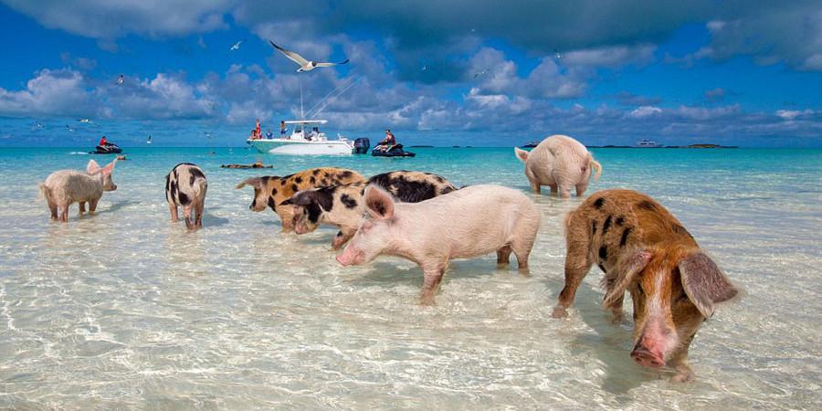 中国人一年要吃掉7亿头猪? ——非瘟加速规模化进程!