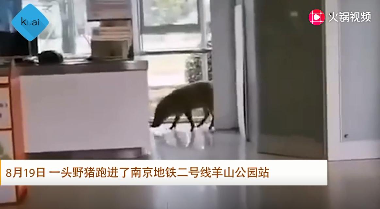 野猪误入南京地铁被驱离 南大学生围观:你是不是瘦了