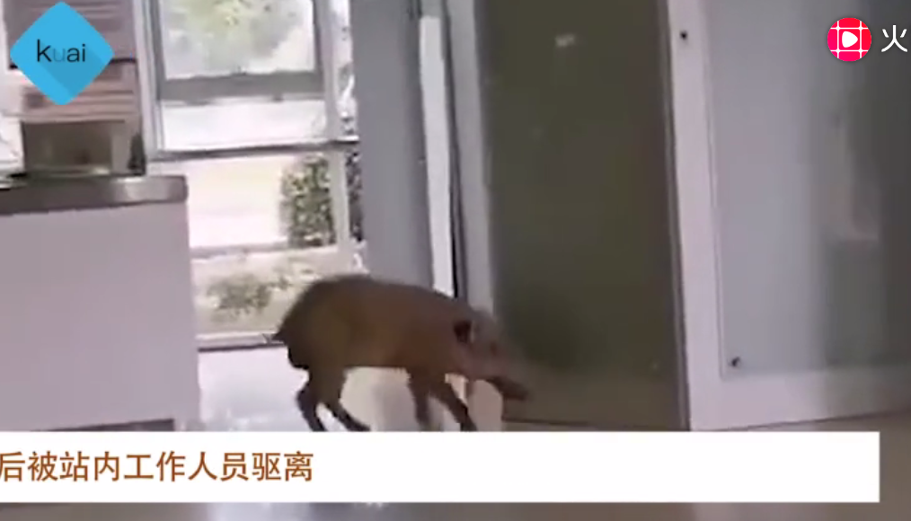 野猪误入南京地铁 南大学生:这猪长大了!