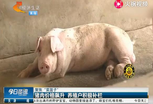 生猪供应不足,猪肉价格飙升,养殖户积极补栏
