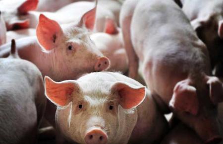 2019年08月22日全国各省生猪价格外三元价格报价