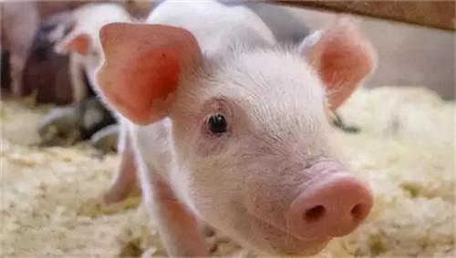 非洲猪瘟扩散10个欧盟国家和整个东南亚,缓解保供压力中国还需进口猪肉