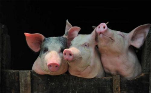 """草木灰被称为""""万能灰"""",在养猪中有何妙用?老兽医传授4个用法"""