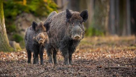 海南一局长借扶贫项目索要野猪