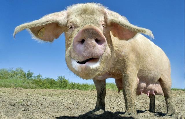 淘汰母猪月内行情整体上行 猪源抛售进入尾声