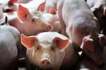 2019年08月23日全国各省生猪价格外三元价格报价