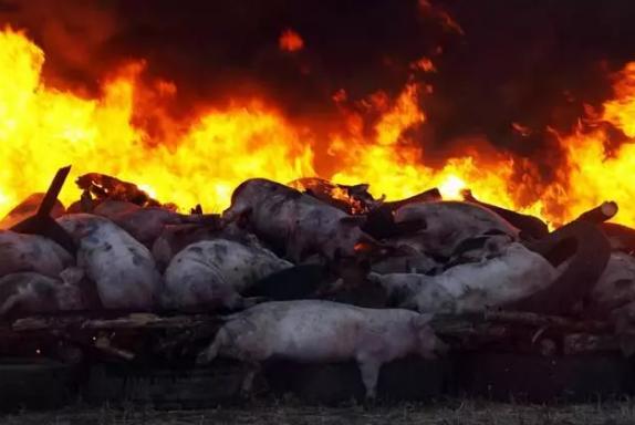非洲猪瘟不传人为什么不让吃猪瘟肉要全部销毁,真正原因令人万万没想到