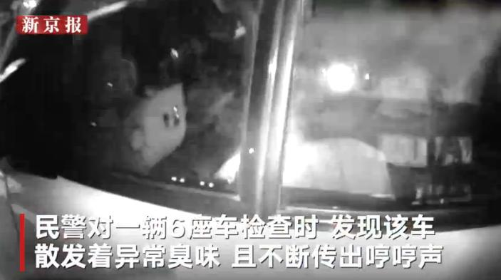 六座商务车非法改装运猪被查,足足塞了300头小猪交警被惊呆