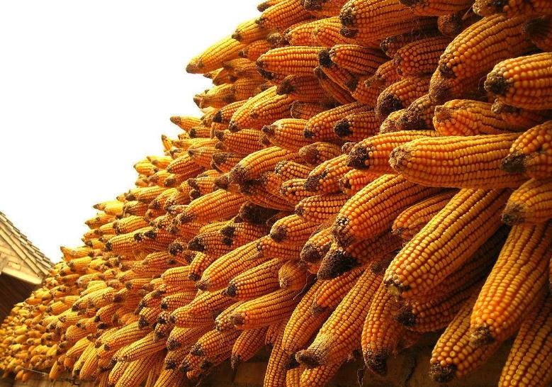 2019年08月24日全国各省玉米价格表及行情走势报价
