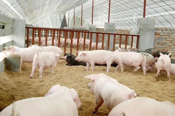2019年08月25日全国各省生猪价格外三元价格报价