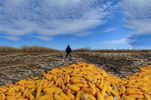 2019年08月25日全国各省玉米价格表及行情走势报价