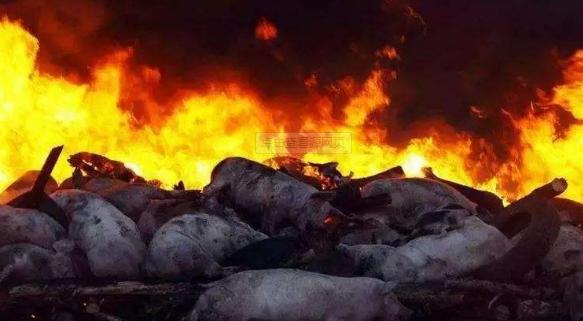 越南因非洲猪瘟已销毁生猪400万头,超猪群总量超10%