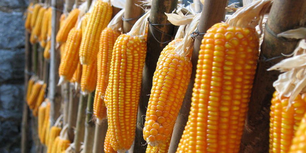 最新玉米消息利好刷屏!下游需求提振,进口玉米冲击低于预期