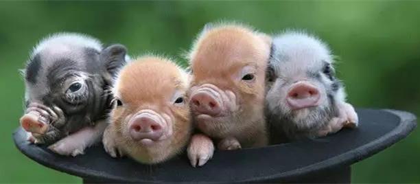 一个普通养猪人关于非洲猪瘟疫苗的看法,你怎么看?