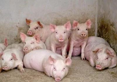 广西养猪业非洲猪瘟防控:替代肉类产品快速发展保市场供给