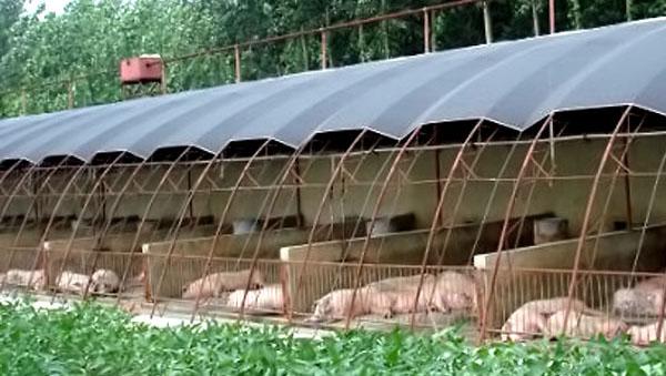 该如何正确建造养猪大棚,几种方法省时省力!