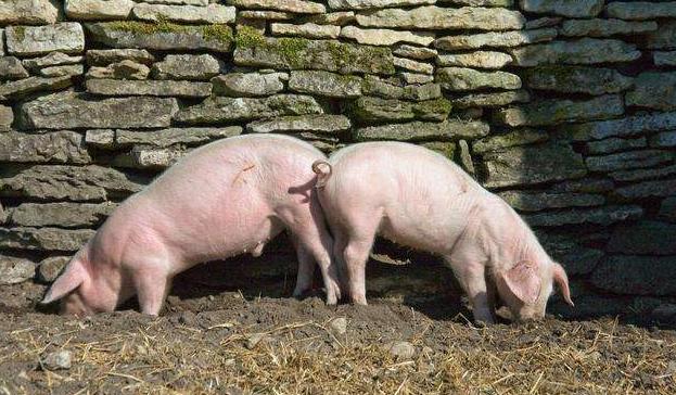 散养户和养殖场谁更有优势?面对猪价利好行情散养户合作方式须改变