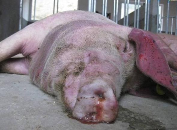 猪传染性胸膜肺炎