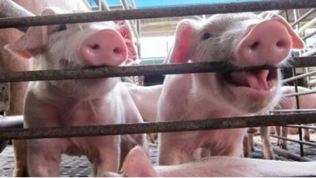 2019年08月28日20公斤仔猪价格行情走势