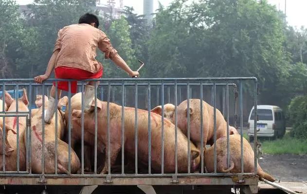 猪价已达15.5元,第三、第四季度是涨还是跌?看完心里能有数