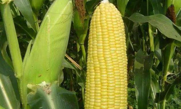 """黑龙江绥化玉米领""""鲜"""",鲜食玉米按穗卖"""